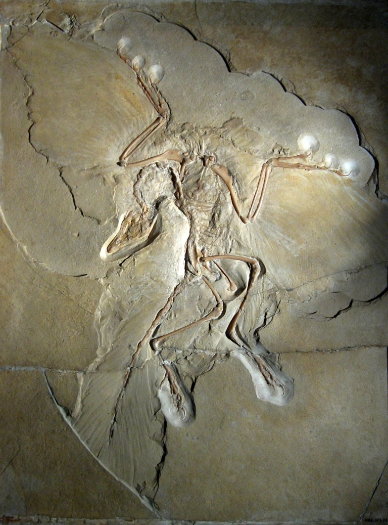 Dino-bird archaeopteryx By H. Raab (User:Vesta) (Own work) CC BY-SA 3.0